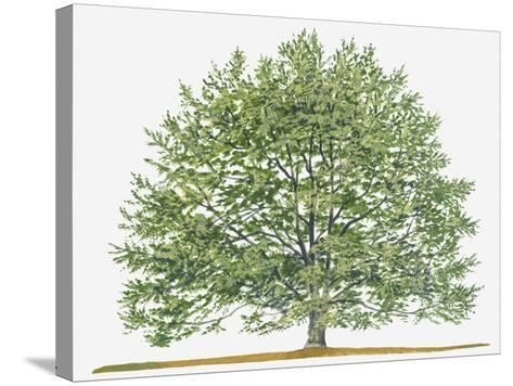 Illustration of Fagus Sylvatica, (European Beech or Common Beech) Deciduous Tree-Sue Oldfield-Stretched Canvas Print