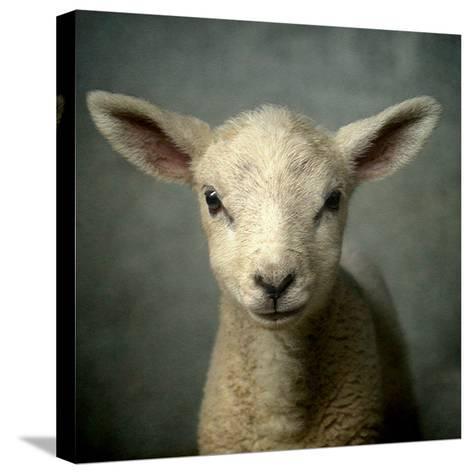 Cute New Born Lamb-bob van den berg photography-Stretched Canvas Print
