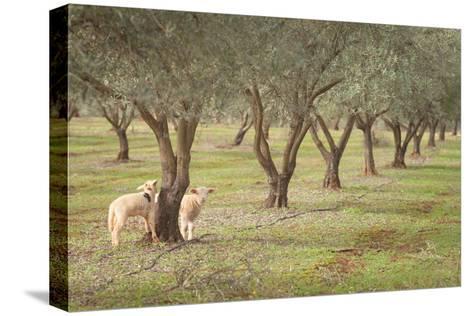 Lamb-AlexandraR-Stretched Canvas Print