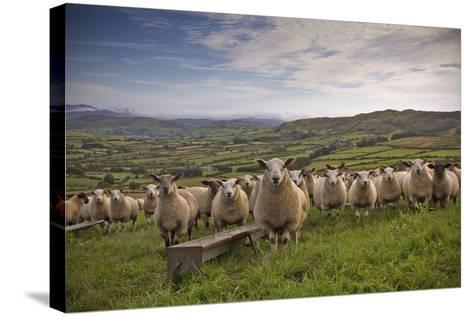 Lambs-Photograph taken by Alan Hopps-Stretched Canvas Print