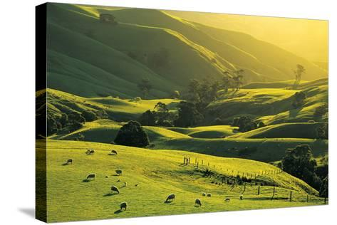Ewes and Lambs Grazing at Trida, Strzelecki Ranges, South Gippsland, Victoria, Australia-Peter Walton Photography-Stretched Canvas Print
