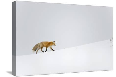 Red Fox, Yellowstone National Park-Ben Cranke-Stretched Canvas Print