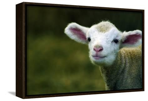 Bleating Lamb-Photo by Alan Shapiro-Framed Canvas Print