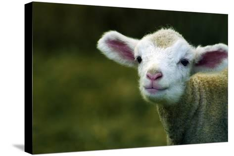Bleating Lamb-Photo by Alan Shapiro-Stretched Canvas Print
