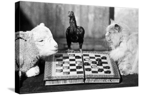 Animal Draughts-Fox Photos-Stretched Canvas Print