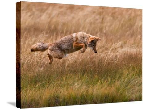 Coyote Leaping - Gibbon Meadows-Photo by DCDavis-Stretched Canvas Print