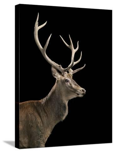 Red Stag-Tim Flach-Stretched Canvas Print