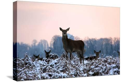 Deers in Bushi Park-Alessio Gaggioli photography-Stretched Canvas Print