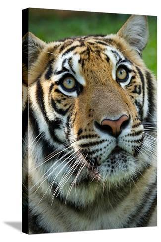 Thai Tiger-Photo by Sayid Budhi-Stretched Canvas Print
