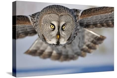 Hunting Great Grey Owl (Strix Nebulosa)-Yves Adams-Stretched Canvas Print