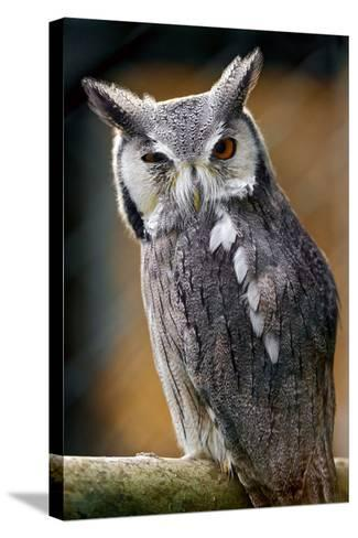Winking Owl-Picture by Tambako the Jaguar-Stretched Canvas Print