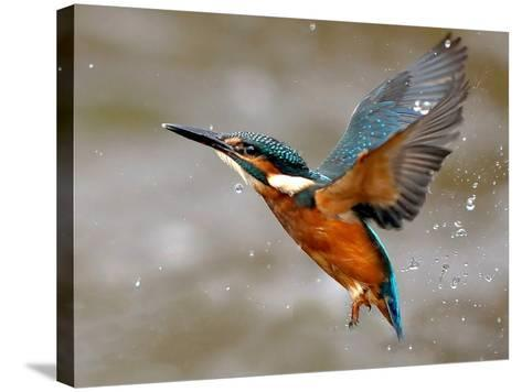 Kingfisher-morgan stephenson-Stretched Canvas Print
