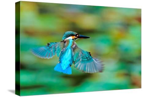Common Kingfisher-Sunnyha Images-Stretched Canvas Print