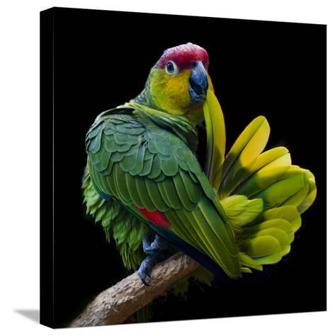 Lilacine Amazon Parrot Isolated on Black Backgro-Photo by Steve Wilson-Stretched Canvas Print