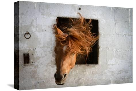 Horse Shaking His Head-Photography taken by Ivan Dupont-Stretched Canvas Print