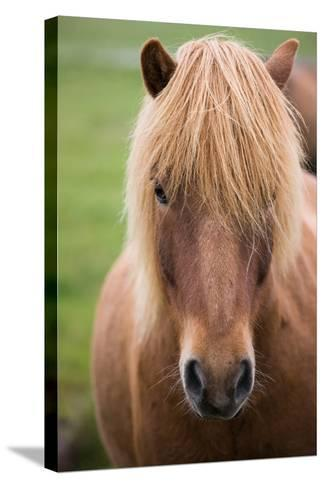 Icelandic Horse, Iceland-Mint Images/ Art Wolfe-Stretched Canvas Print