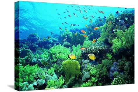 Tropical Fish Swimming over Reef-Stephen Frink-Stretched Canvas Print