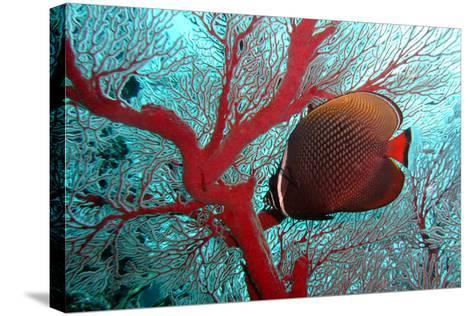 Sea Fan and Butterflyfish-takau99-Stretched Canvas Print