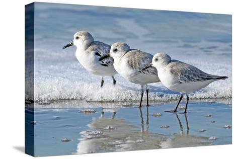 Three Sanderling Sampipers in Line-Maureen P Sullivan-Stretched Canvas Print
