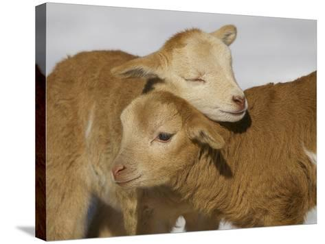 Little Lambs-Ryan Courson Photography-Stretched Canvas Print