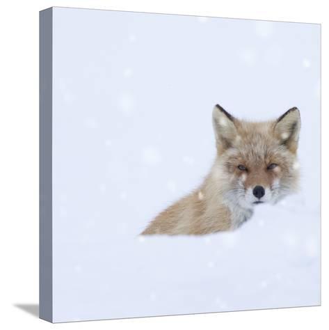 Fox in Snow Field-ICHIRO-Stretched Canvas Print