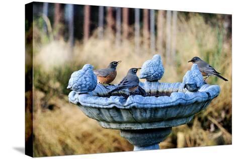 Robins on Birdbath-Barbara Rich-Stretched Canvas Print
