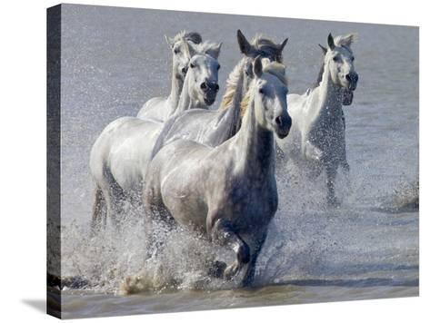 Camargue Horses, France-Keren Su-Stretched Canvas Print