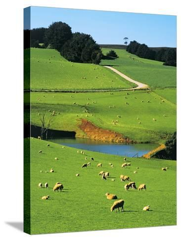 Ewes and Lambs Grazing at Thorpdale, Strzelecki Ranges, West Gippsland, Victoria, Australia-Peter Walton Photography-Stretched Canvas Print