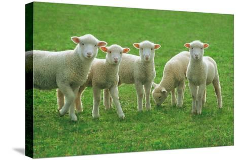Lambs, near Werribee, Victoria, Australia-Peter Walton Photography-Stretched Canvas Print