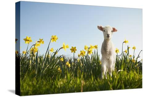 Lamb Walking in Field of Flowers-Peter Mason-Stretched Canvas Print