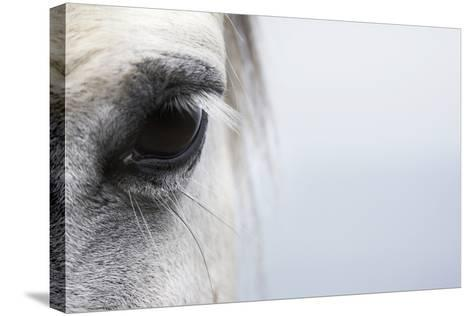 High-Key close up of a Welsh Section A Pony-Andrew Bret Wallis-Stretched Canvas Print