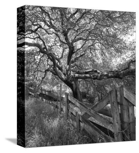Oak Tree and Fence 2 (Native Woodland, Oakland, CA, Black and White)-Henri Silberman-Stretched Canvas Print