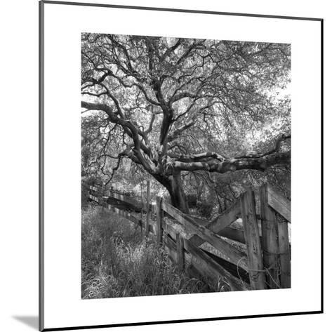 Oak Tree and Fence 2 (Native Woodland, Oakland, CA, Black and White)-Henri Silberman-Mounted Photographic Print