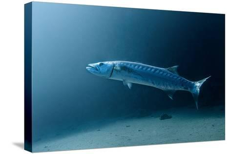 Great Barracuda-Lea Lee-Stretched Canvas Print
