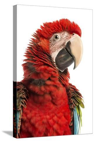 Close-Up of a Green-Winged Macaw-Life on White-Stretched Canvas Print