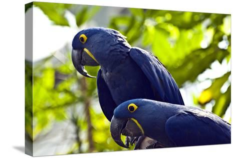 Blue Macaws-Ray Sandusky / Brentwood, TN-Stretched Canvas Print