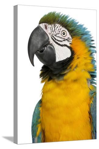 Blue and Yellow Macaw, Ara Ararauna-Life on White-Stretched Canvas Print