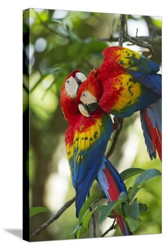 Scarlet Macaws, Costa Rica-Paul Souders-Stretched Canvas Print