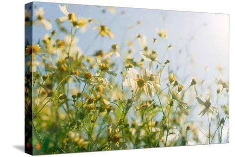 Cosmos Flowers-Jill Ferry-Stretched Canvas Print