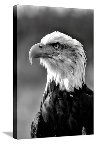 Bald Eagle in Black and White-Andrea & Tim photography-Stretched Canvas Print