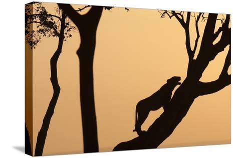 Lioness on a Tree at Dawn - Silhouette-Anup Shah-Stretched Canvas Print
