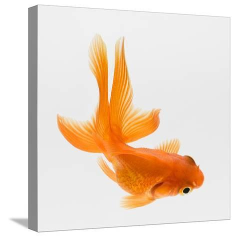 Fantail Goldfish (Carassius Auratus), Elevated View-Don Farrall-Stretched Canvas Print