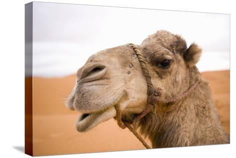 Portait of a North African Camel (Camelus Dromedarius) Morocco, North Africa-Ben Queenborough-Stretched Canvas Print