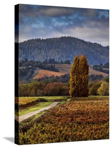 Path Leading to Two Large Trees in Vineyard-Bob Cornelis-Stretched Canvas Print