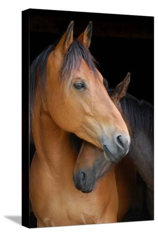 Head Shot of Horse and Pony Hugging on Dark B/G-Anne Louise MacDonald-Stretched Canvas Print
