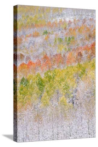 A Forest of Aspen Trees in the Wasatch Mountains, with Striking Yellow and Red Autumn Foliage. Snow-Mint Images - David Schultz-Stretched Canvas Print