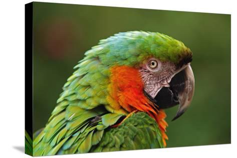 Macaw-aaa-Stretched Canvas Print