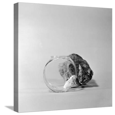 Trapped-Three Lions-Stretched Canvas Print