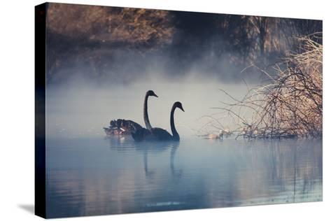 Swans on Misty Lake Tarawera, New Zealand-Elaine W Zhao-Stretched Canvas Print