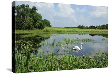 Male Mute Swan on Marshland Habitat.-Chuck Eckert-Stretched Canvas Print